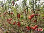 棋盘镇祁元村张顺强种植的番茄。 - 江苏新闻网