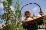 当下正是石榴成熟的季节,在曹集乡双河里石榴园,红彤彤的石榴果挂在树上等待着采摘。 泱波 摄 - 江苏新闻网