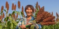 今年风调雨顺,红高粱喜获丰收,种植户们乐开了花。 张连华 摄 - 江苏新闻网